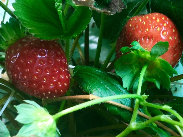 Vertical Farming Metropolis farms strawberries